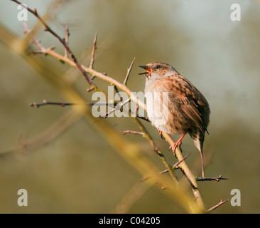 Close up of Dunnock, Prunella modularis singing at first sign of Spring - Stock Photo