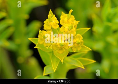 Euphorbia mauretanica, Gifmelkbos, Richtersveld, South Africa - Stock Photo