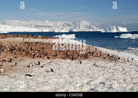 Gentoo Penguin colony, snow and ice-scape at Cuverville Island, Antarctic Peninsular - Stock Photo