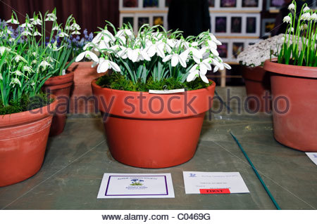 AGS Alpine Garden Society South Wales show 2011. Galanthus mighty atom 'ione hecker' won the galanthus goblet. - Stock Photo