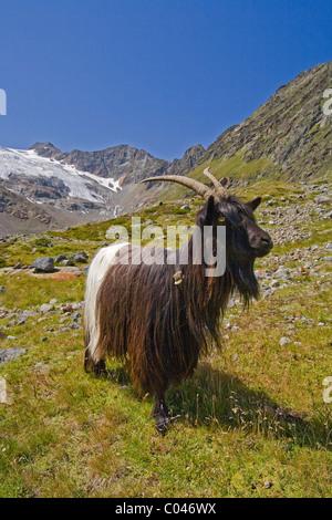 Goat. - Stock Photo