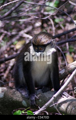 Red-tailed monkey (Cercopithecus ascanius), Kichwa Tembo Forest, Maasai Mara, Kenya - Stock Photo