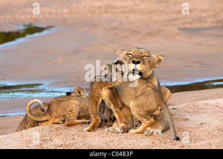 A lioness interacting with her four cubs during a late afternoon in summer. - Stock Photo