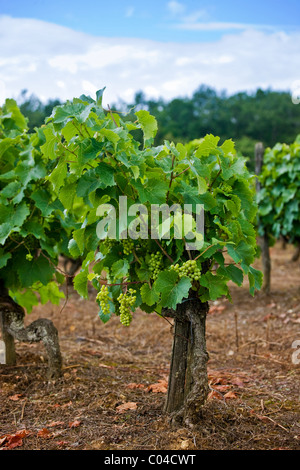 Ancient vines of white grapes in vineyard in the Dordogne France - Stock Photo