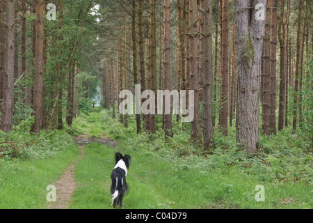 Young Border Collie looking into a forest ride at Clumber Park, Nottinghamshire. - Stock Photo