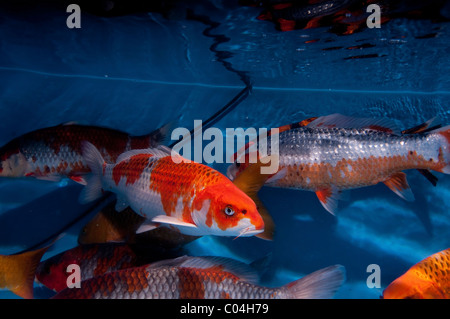 Koi carp cyprinus carpio domesticated variety of the for Koi carp varieties