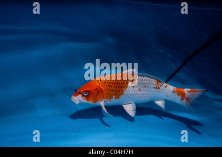 Koi fish domesticated variety of the common carp cyprinus for Japanese ornamental fish