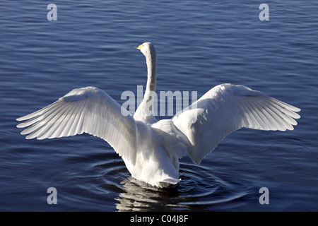 Whooper Swan Cygnus cygnus With Wings Outstretched At Martin Mere WWT, Lancashire UK - Stock Photo