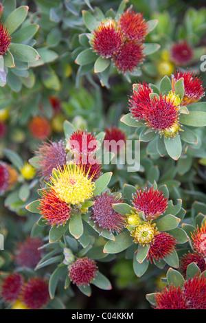 Leucospermum Oleifolium protea at Kirstenbosch in Cape Town - Stock Photo