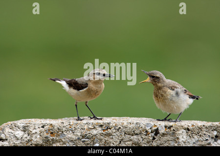 Northern Wheatear (Oenanthe oenanthe). Female feeding chick. - Stock Photo