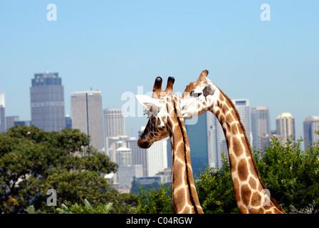 Two giraffes with city in background. Photo took in Taronga ZOO, Sydney, Australia. - Stock Photo