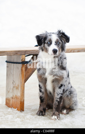 Australian Shepherd dog tied up outside in winter - Stock Photo