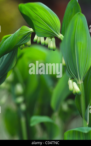 Polygonatum x hybridum - Stock Photo