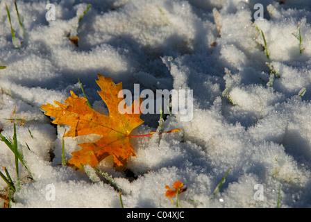 Autumn Maple leaf on fresh fallen snow, Colorado US. - Stock Photo
