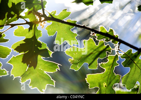 A leaf back lit by the sun - Stock Photo