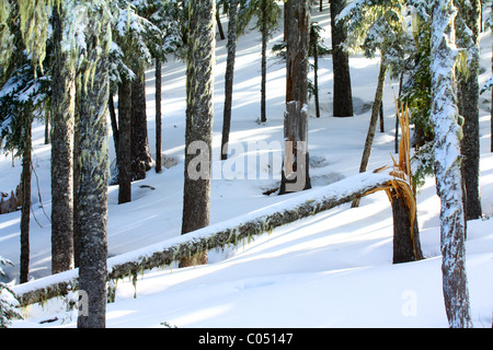 40,583.02946az Winter close-up of tree trunks with long shadows in snow, and one fallen broken off shattered tree - Stock Photo