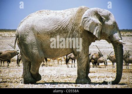 Bull African Elephant (Loxodonta africana) with legs crossed - Stock Photo