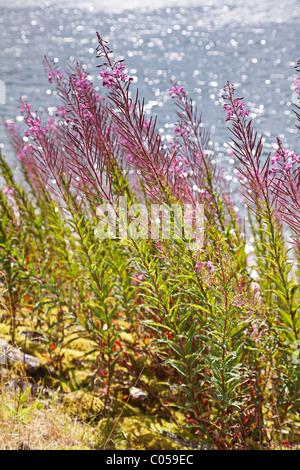Rosebay willow - herb, ( Epilobium,angustifolium) - fireweed growing on the bank of a reservoir. - Stock Photo