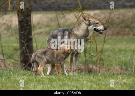 Saarloos Wolfdog Puppy - Stock Photo