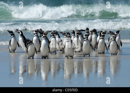 Magellanic Penguins (Spheniscus magellanicus) on a beach after returning from fishing Saunders Island Falklands - Stock Photo
