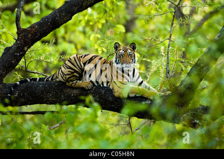 Adolescent male Bengal Tiger (around 15 months) resting up a tree. Bandhavgarh NP, Madhya Pradesh, India. - Stock Photo