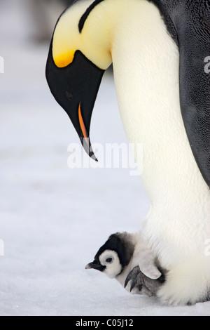 Emperor penguin and chick, October, Snow Hill Island, Weddell sea, Antarctica - Stock Photo