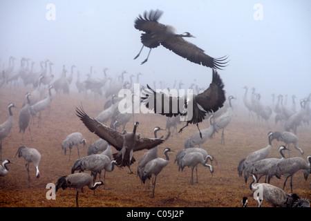 Common Cranes in early morning fog in spring, Hornborgasjoen Lake, Sweden - Stock Photo