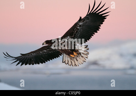 White-tailed eagle in winter coastal landscape in January, Norway - Stock Photo