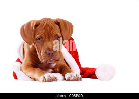 Bordeauxdog Puppy - Stock Photo