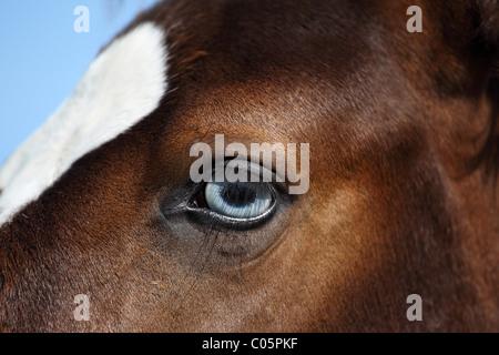 Pinto foal - Stock Photo