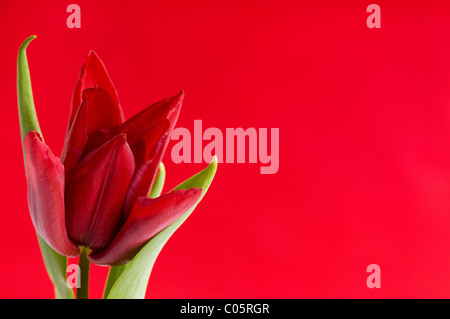 Blooming one single red tulip with leaves on red - Stock Photo