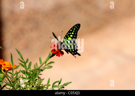 Butter fly on a marigold flower - Stock Photo