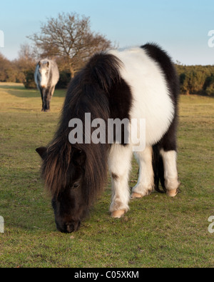New Forest ponies grazing grass at Godshill New Forest - Stock Photo