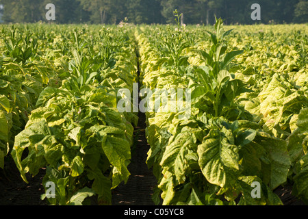 Tobacco rows. A row of tobacco plants ripening in the late afternoon sun. Woodlot in the background. - Stock Photo