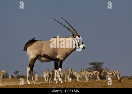 Gemsbok, Etosha National Park, Namibia. - Stock Photo