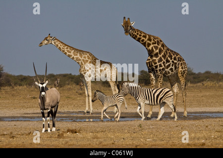 Giraffe, Gemsbok and Zebra at waterhole, Etosha National Park, Namibia. - Stock Photo