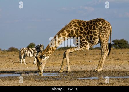 Giraffe drinking, Etosha National Park, Namibia. - Stock Photo