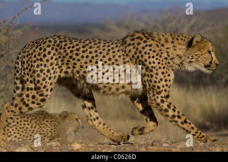 Namibia Cheetah Acinon...