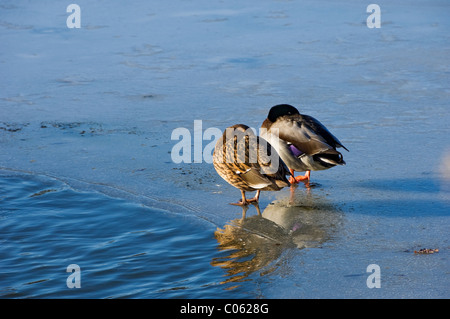 Male and female mallard ducks resting on partially frozen lake in winter North Yorkshire England UK United Kingdom - Stock Photo