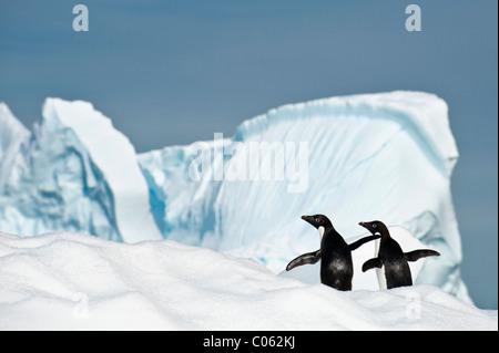 Adelie Penguins (Pygoscelis adeliae) on ice berg. Yalour Islands, Antarctic Peninsula, Antarctica. - Stock Photo