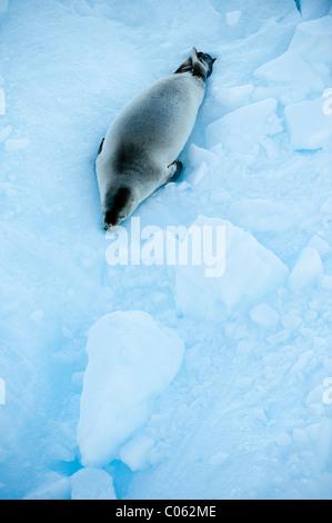 Crab-eater Seal (Lobodon carcinophaga) on ice floe. Vernadsky, Antarctic Peninsula, Antarctica. - Stock Photo