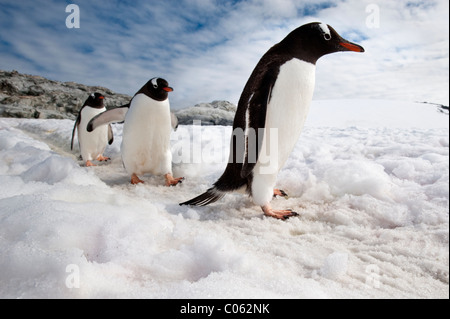 Gentoo Penguins, Peterman Island, Antarctic Peninsula, Antarctica. - Stock Photo