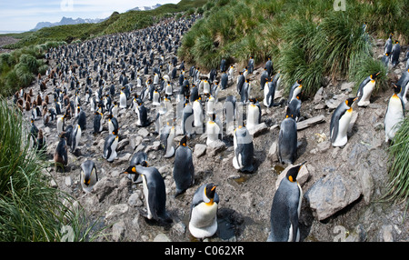 King Penguin breeding colony, Salisbury Plain, South Georgia, South Atlantic. - Stock Photo
