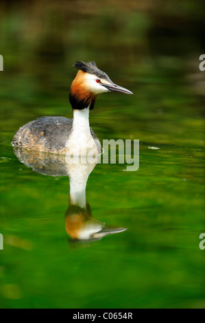 Great Crested Grebe (Podiceps cristatus) with its reflection - Stock Photo