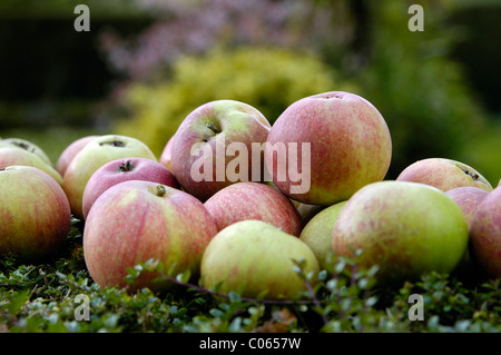 A pile of apples on a bed of green plants in a British country garden. - Stock Photo