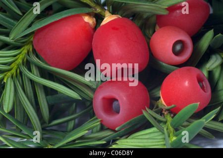 Common Yew, English Yew (Taxus baccata), underside of twig with so-called berries. - Stock Photo