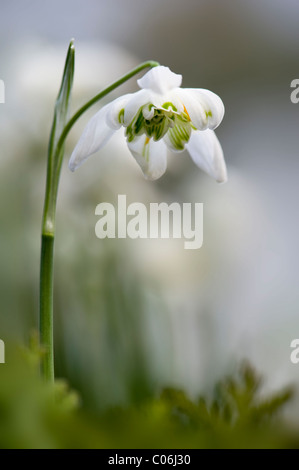 Double flowering Snowdrop - Galanthus nivalis 'Flore Pleno' - Stock Photo