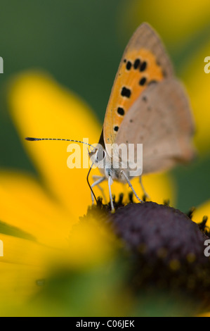 Small copper butterfly - Lycaena phlaeas collecting pollen - Stock Photo