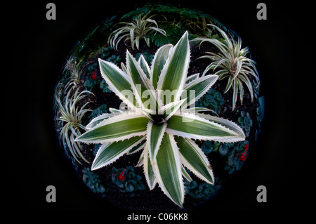 A fish-eye image of the Red pineapple plant - Ananas bracteatus 'Tricolor' - Stock Photo