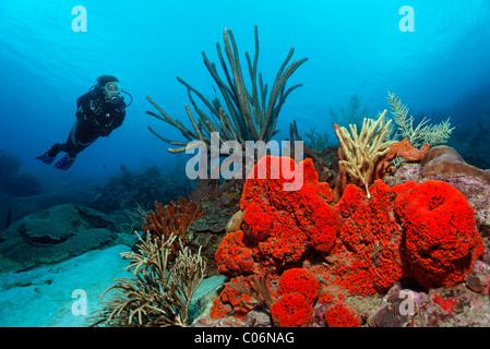 Scuba diver observing a coral reef, Orange Elephant Ear Sponge (Agelas clathrodes), Little Tobago, Speyside, Trinidad - Stock Photo